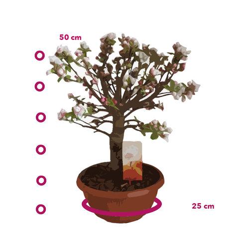 Bonsai Appelboom voor op tafel- Malus