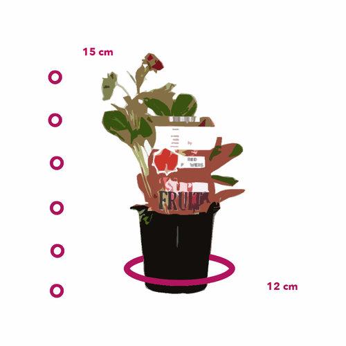 Aardbeienplant met rode bloem - Ruby Ann