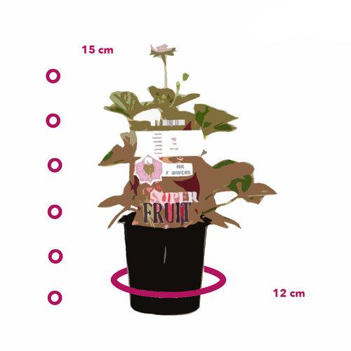 Aardbeienplant met roze bloemen - Roman