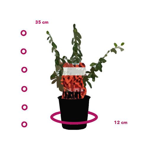 Gojibessenplant  - Sweet Goji