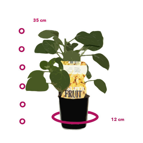 Goudbessenplant - Jamesun