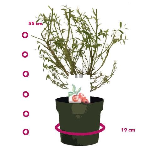 Roze Bosbessenplant XL