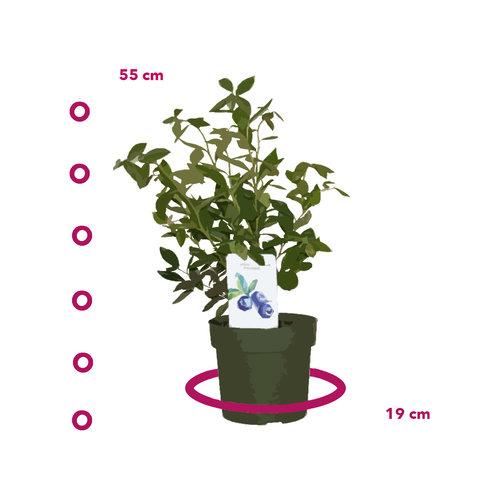 Blauwe Bosbessenplant XL - bosbessenstruik