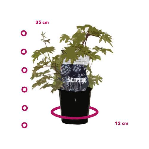 Bramenplant - groenblijvend  - Thornless Evergreen