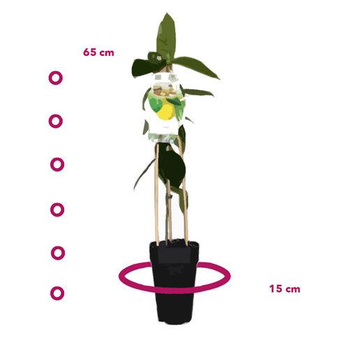 Citroenplant - Toscane