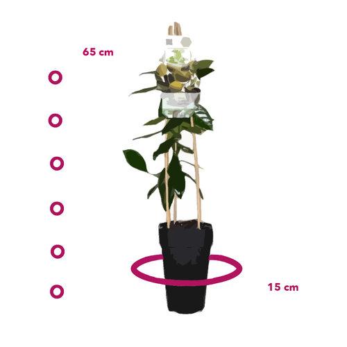 Limoenplant - Lime Verde
