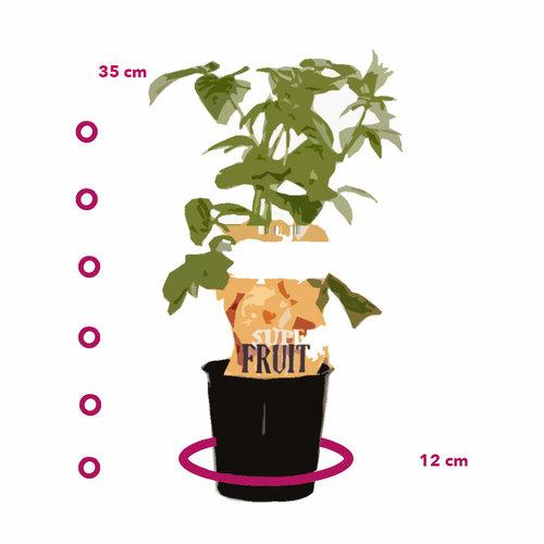 Gele Frambozenplant - Fallgold - Herfst
