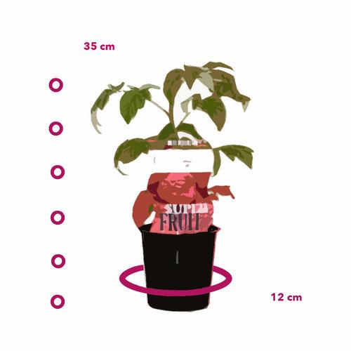 Rode Frambozenplant - Malling promise - Zomer