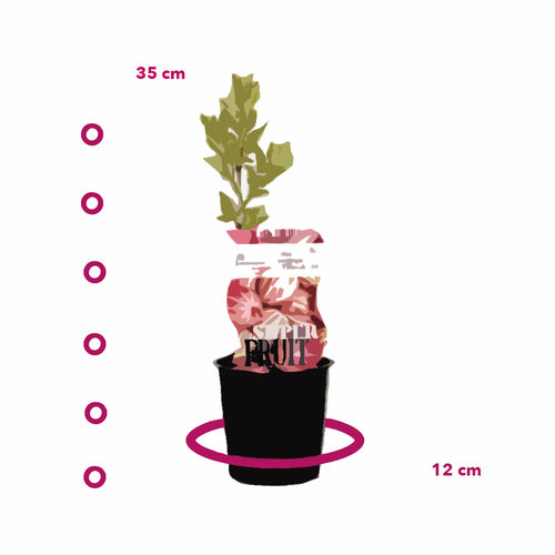 Rode Kruisbessenplant  - Hinnonmaki Röd