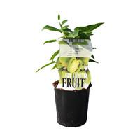 Kiwibessen plant - zelf bestuivend