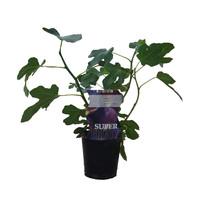 Vijgenplant