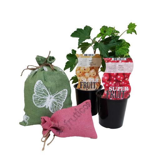 Aalbessen Plantenpakket