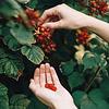 Hoe weet je dat vruchten rijp zijn om geoogst te worden?
