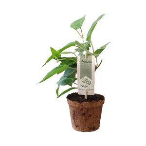 Zelfbestuivende kiwiplant Organic Family