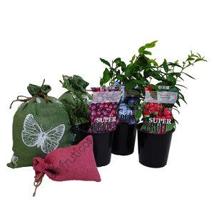 Bosbessen  Plantenpakket