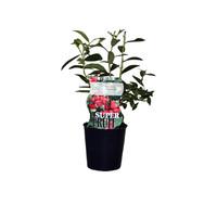 Roze Bosbessenplant