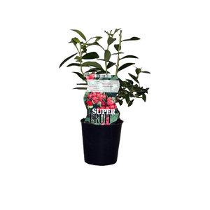 Roze Bosbessenplant - Pink Marmalade