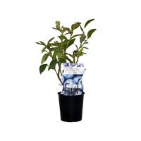 Blauwe bosbessenplant Jersey
