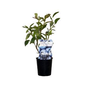 Blauwe bosbessenplant - Jersey