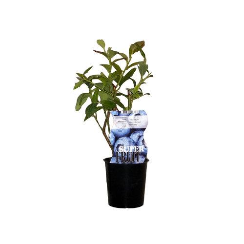 Blauwe bosbessenplant Berkeley