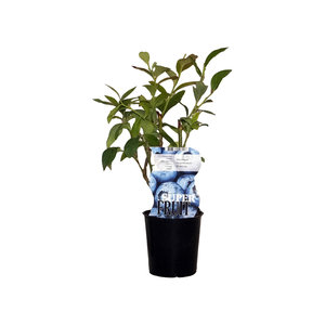 Blauwe bosbessenplant Bluecrop