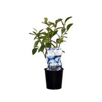 Blauwe bosbessenplant Goldtraube
