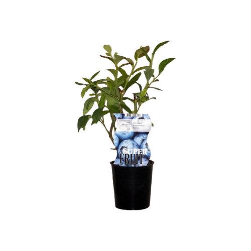 Blauwe bosbessenplant Patriot