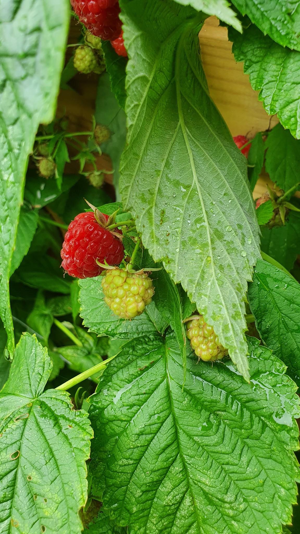 Frambozen plant
