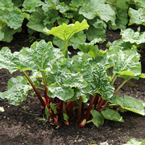 Rabarberplanten