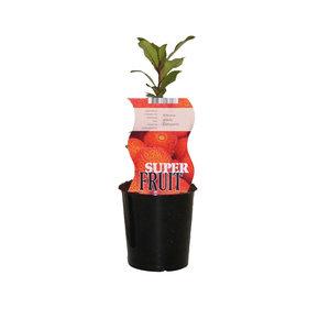 Aardbeienboom - Compacta