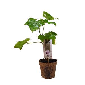 Blauwe Druivenplant - Organic