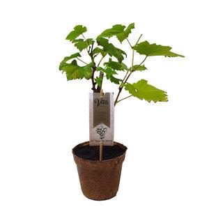 Witte Druivenplant- Supaga- Organic Family