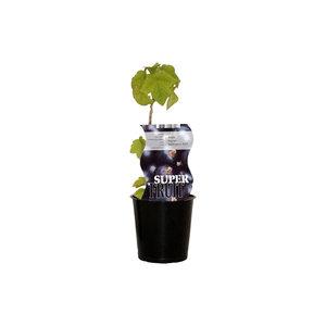 Cassis Bessenplant - Wellington