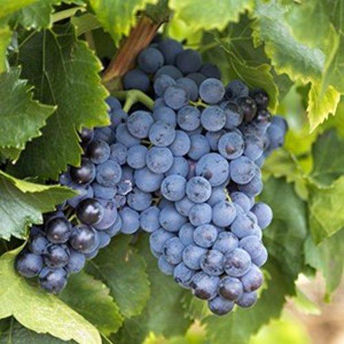 Blauwe Druivenplant - Franktenthaler