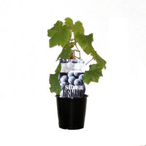 Blauwe Druivenplant - Frankenthaler