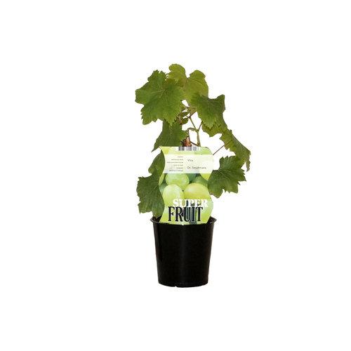 Witte druivenplant -Bianca