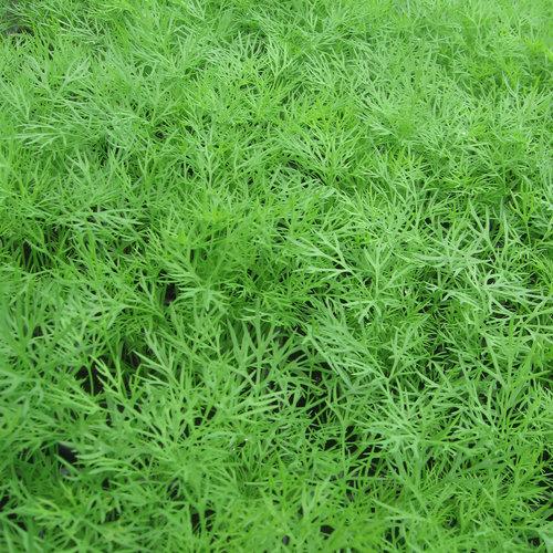 Dille plant