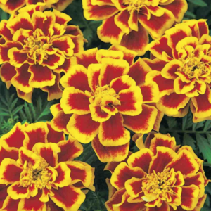 Eetbare Afrikaanse bloem