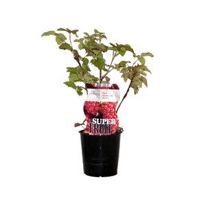 Frambramenplant
