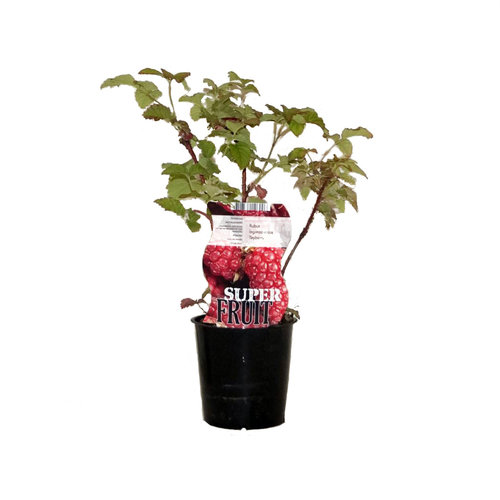 Frambramenplant - Tayberry