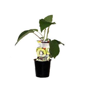 Zelfbestuivende kiwiplant