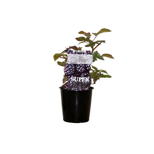 Doornloze zwarte bramenplant - Black Satin