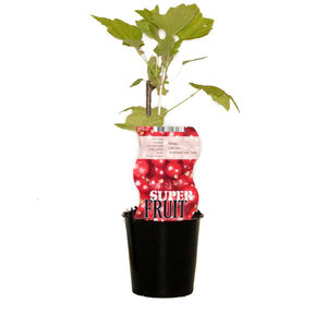 Rode Aalbessenplant