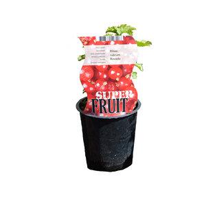 Rode aalbessenplant - Rovada