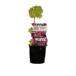 Jostabessenplant