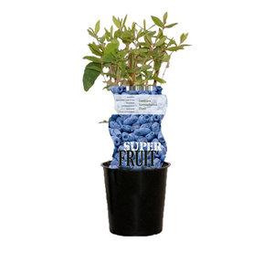 Blauwe Honingbessenplant