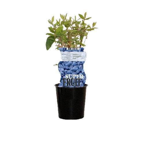 Blauwe Honingbessenplant - Duet