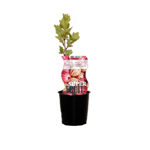 Rode Kruisbessenplant