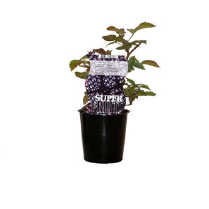 Zwarte Bramenplant