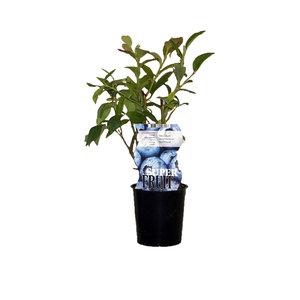 Blauwe Bosbessenplant voor in de tuin -  Northland